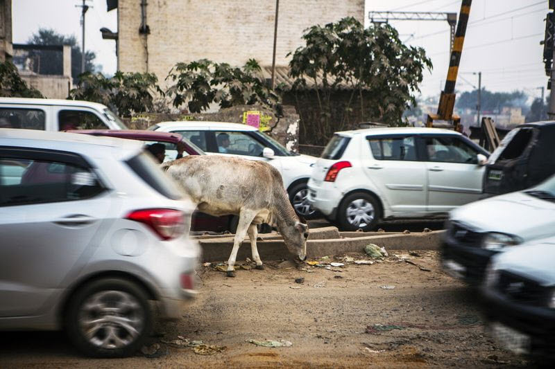 India cars cow